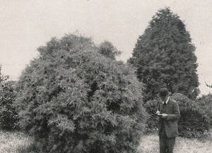 Gaston Allard devant des cupressus arizonica en 1912 © Cliché R. Lhomme.