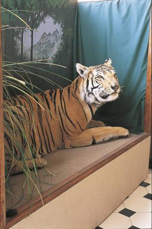 Tigre du Bengale © Cliché Michel Beucher