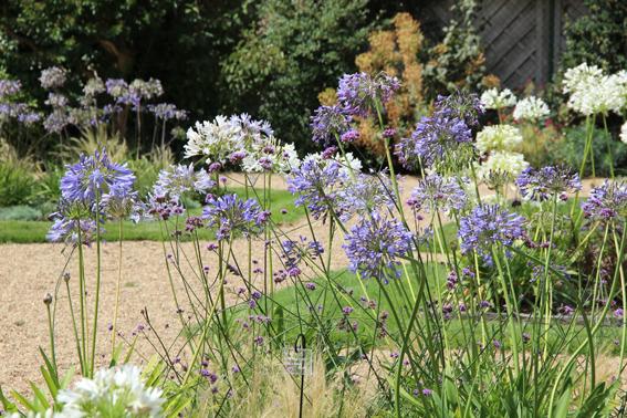 Agapanthes au jardin des plantes.