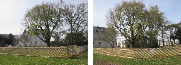 Sécurisation d'un chêne au parc de l'Arceau