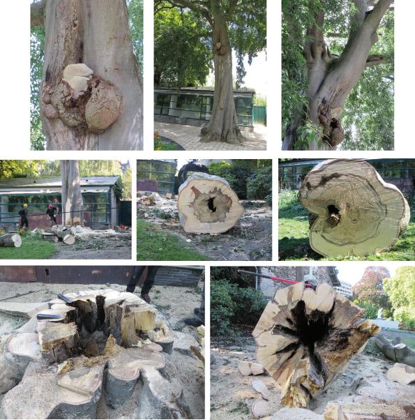 Abattage d'un arbre dangereux au jardin des plantes