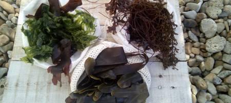 Les algues : de la cueillette … à l'assiette !