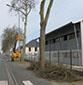 Image La Ville d'Angers réalise une taille d'entretien des arbres sur les grands boulevards, quartier de la Roseraie